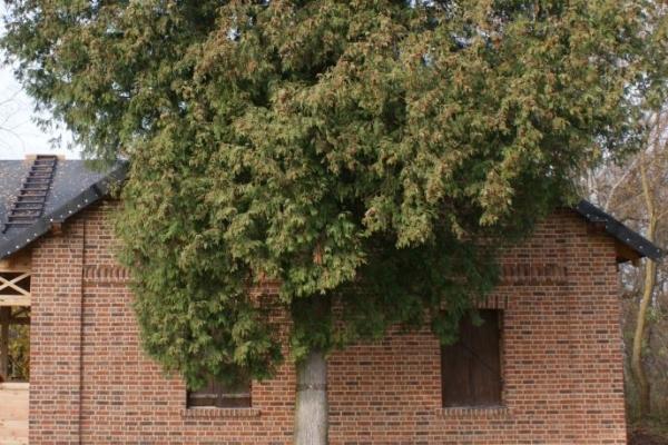 Cegły Nelissen - Robinia